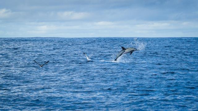 madeira_whalewatching_calheta_lobosonda-6256