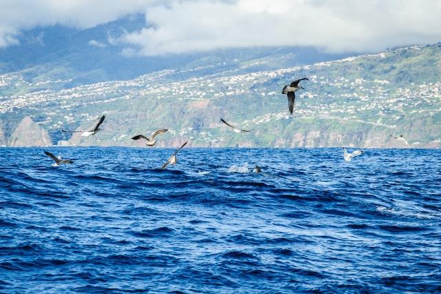 madeira_whalewatching_calheta_lobosonda-6340